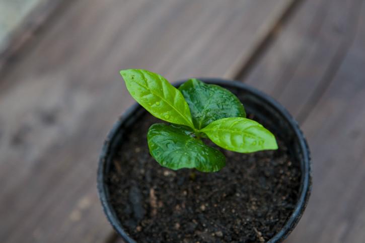 커피떡잎.jpg